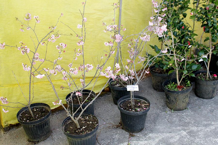 Mudas de Cerejeiras